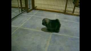 Akc Pomeranian Puppies - Wolf Sable And Tri Color Parti