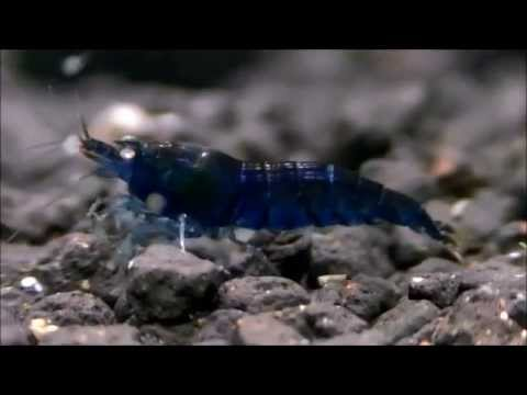 Royal Blue Tiger Shrimp