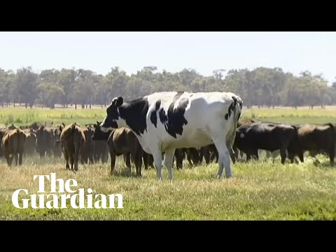 Meet Knickers, the 1,400kg cow from Australia – video | World news