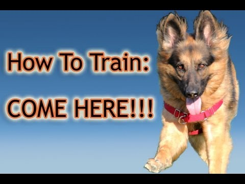 How To Train Your Dog: 'Come Here!' PERFECTLY!!!