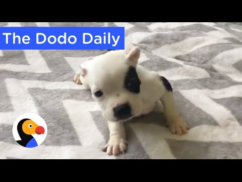 Puppy With Special Needs Living the Life: Best Animal Videos on YouTube | The Dodo Daily Ep. 12
