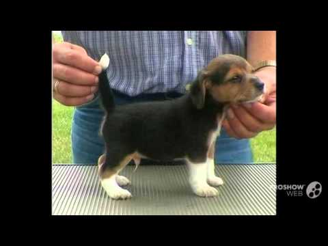 Good Tiny Beagle Adorable Dog - hqdefault  Collection_85511  .jpg