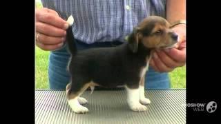 Pocket Beagle Dog breed