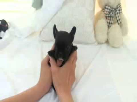 Adorable Lil Stewie ~ Mini French Bulldog Puppy For Sale Boutique Teacup  Puppies