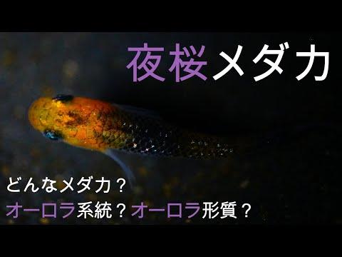 #14 夜桜メダカのオーロラとは?? ~開封動画と紹介動画~...