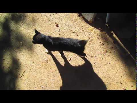 Annie The Manx Cat Walking Around