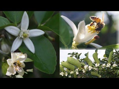 La Floración en El Limonero, Aspectos Agronómicos