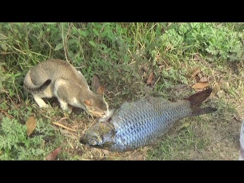 Amazing ! Funny Cat Catching Fish Videos Compilation 2018 - Funny cat Vs Fish