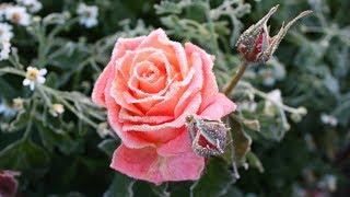 Чем заняться в новогодние праздники  Изучаем розы
