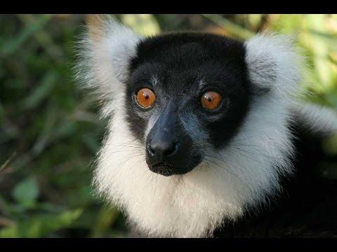 Lemurs of Madagascar HD