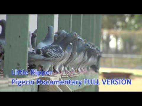 Little Ripper - Pigeon Racing Documentary.