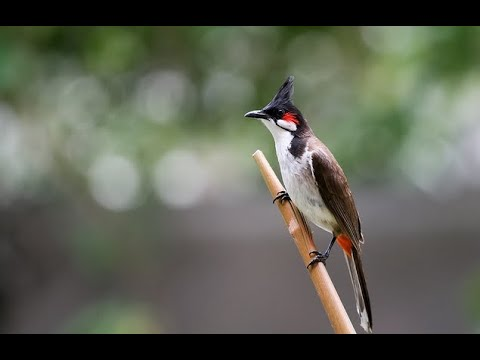 เสียงฝึกนกกรงหัวจุก(นกกรงหัวจุกป่าละอู)