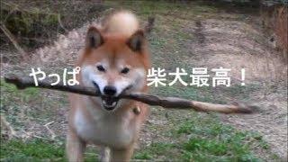 【柴犬ジロー】 やっぱ柴犬最高!【Shiba Inu】