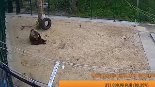 Акробатический номер в исполнении медведя Мансура 🎪/Bear Mansur