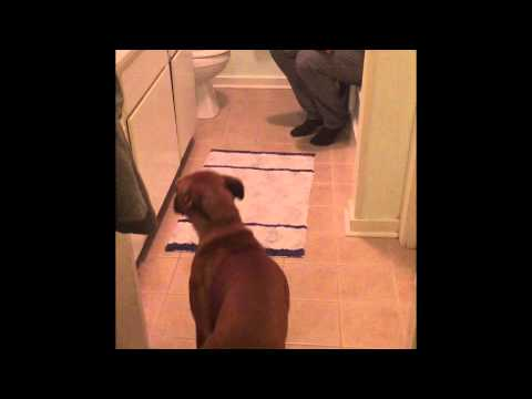Funny boxer dog doesn't want to take a bath