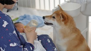 Shiba Inu Meets Baby Brother For The First Time