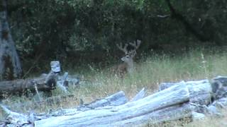 More Mendocino County California black tail deer