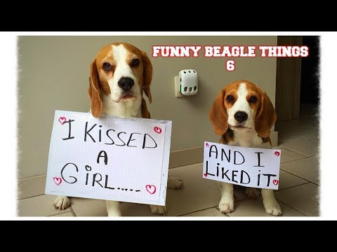 Funny BEAGLE Compilation ! Why You Should Get A Beagle Dog. Episode #6