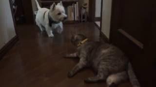 帰省したウエスティのホピコさん、飼い主がトイレに入ってしまい戸惑い...