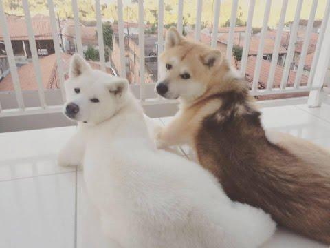 Akita Inu - Minha experiência e Dicas