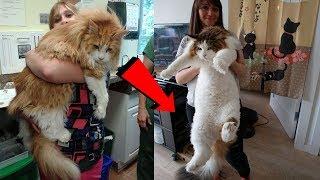 Guinness Rekortmeni Dünyanın En Şişman ve Büyük Kedileri ( Türkçe Seslendirme )