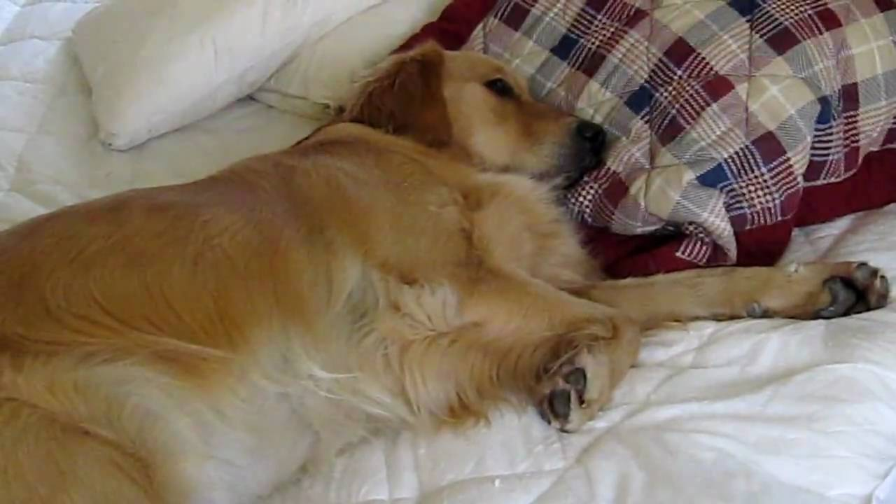 Best Dog Bed For Golden Retriever Uk