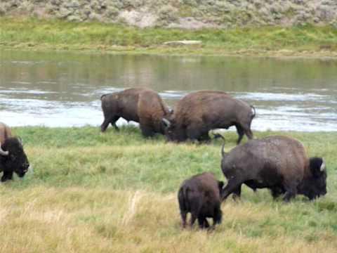 Fighting bizons - Hayden valley (Yellowstone)
