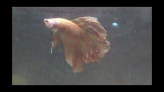 Аквариумные рыбки.Рыбка Петушок. Полулунный.