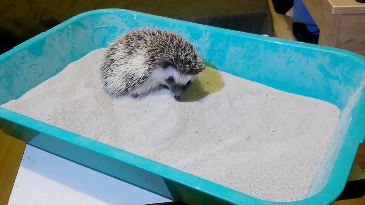 Картинки по запросу Как купать ежика в песке