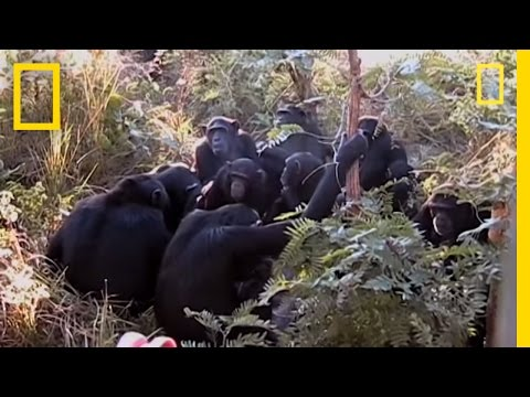 """Chimps """"Mourn"""" Nine-year-old's Death? 