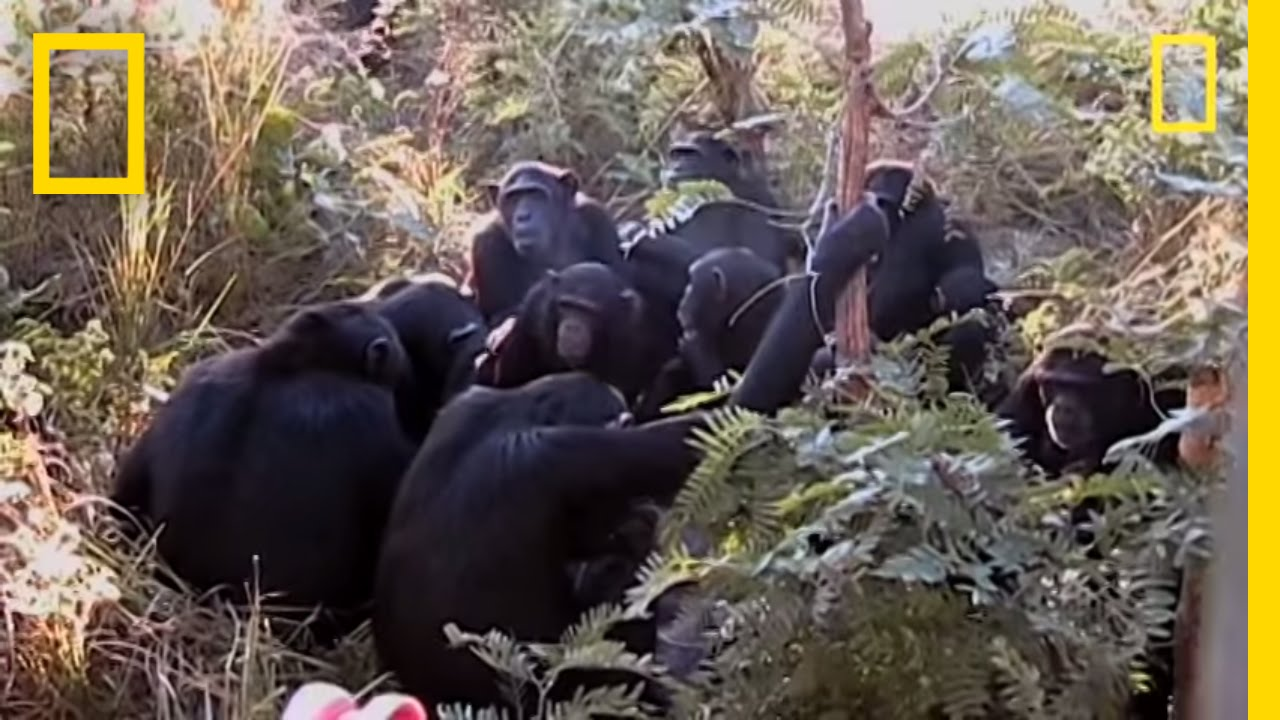 chimps mourn nine year old s death national geographic youtube
