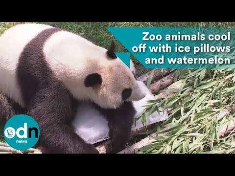 Zoo animals cool down with ice pillows and watermelon