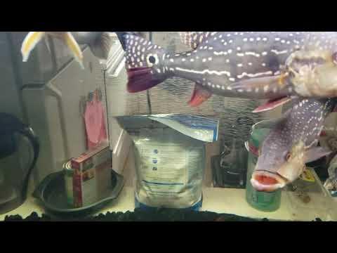 Peacock  Bass, Datnoid, Sperata Catfish, Giraffe Catfish