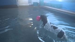 German Shorthaired Pointer Gracie Is Swimming Much Better - Took 2 Years To Go To Deep End Alone!