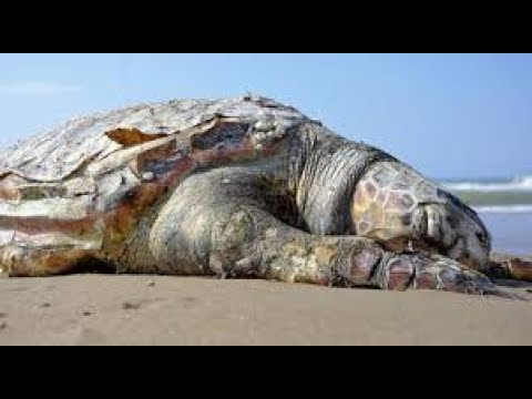 HOW MANY SEA TURTLES HAVE TO KEEP DYING IN ALABAMA?