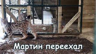 Мартин в новом вольере / Lynx Martin in the new enclosure