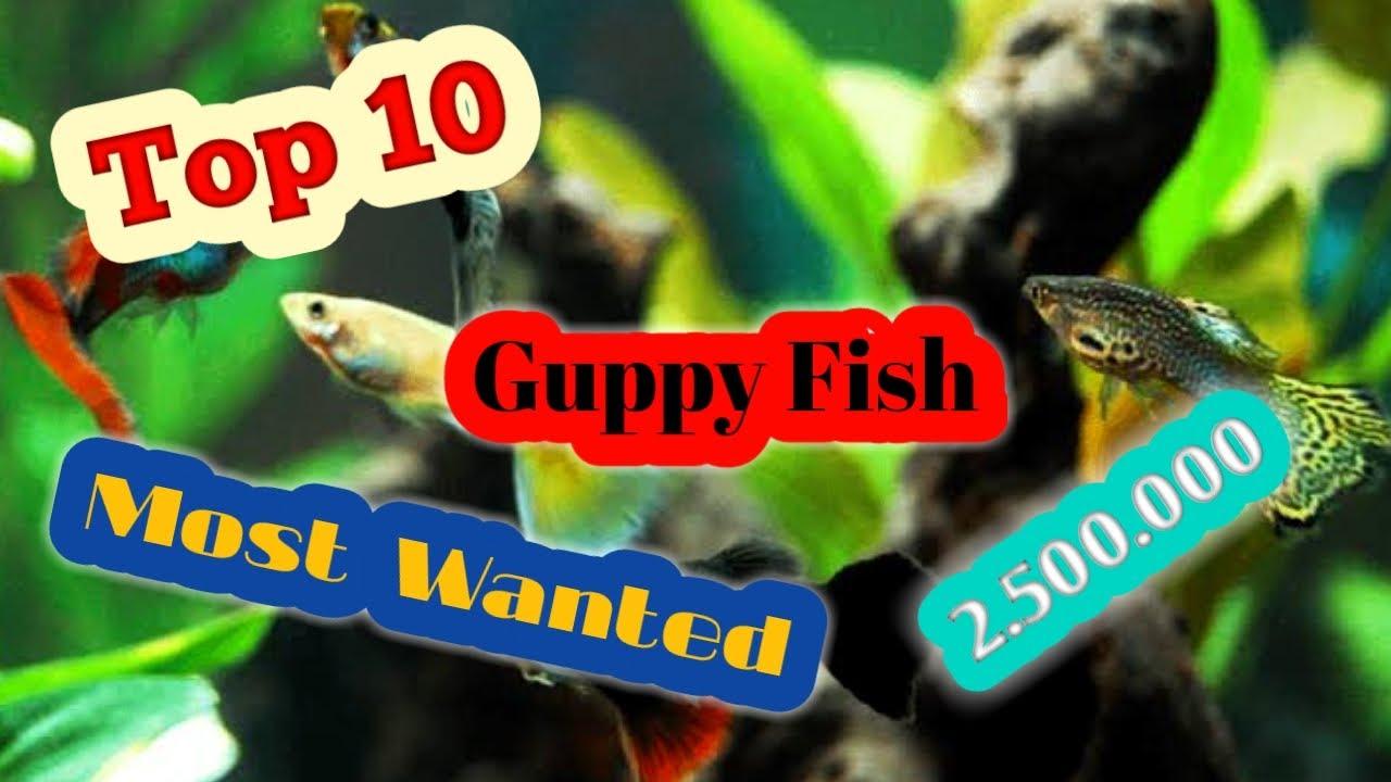 Ikan guppy termahal dan Langka || Laku hingga Rp 2.500.000 ...