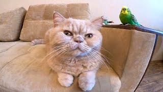 Попугай заигрывает с котом. Кот Марсик и попугай Кеша.