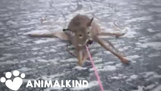 Desperate rescue of deer stranded on thin ice | Animalkind