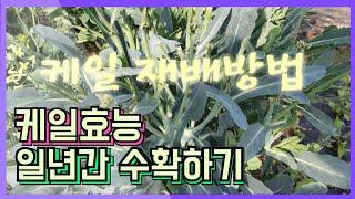 #케일재배방법 일년간 수확하기 #케일효능
