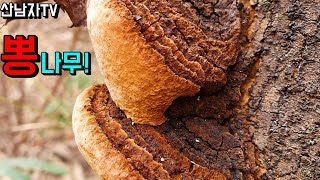 겨울 산행 뽕상황 뽕나무 상황버섯 칡 느타리 산남자 약…