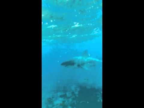 Great White shark on Alligator Reef, Fl Keys