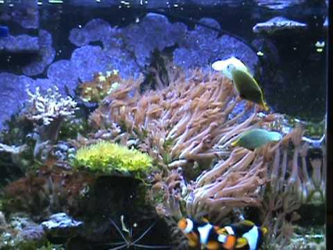 Harlequin Filefish In Nanocube Reef Eating Flake Food