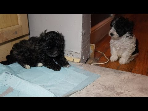 Maltepoo's for sale (Maltese/Toy Poodle Puppies Pt.2) 7 Weeks