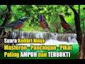 Suara Kolibri Ninja Cocok Untuk Masteran Dan Pikat Paling Ampuh  Mp3 - Mp4 Download