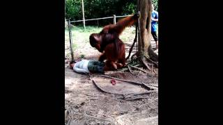 Download Video Orang utan vs manusia MP3 3GP MP4
