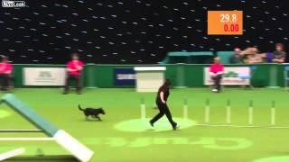 жесть на соревнованиях собака