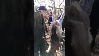 Охота на волков.разделка волка