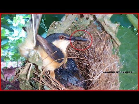 Mother bird Fights Back BLACK BUG to Save her Babies | BIRDY WILDLIFE | Tailor Bird Nest Videos