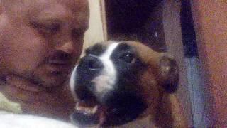 Боксер, щенок, собака, общительный пёс.